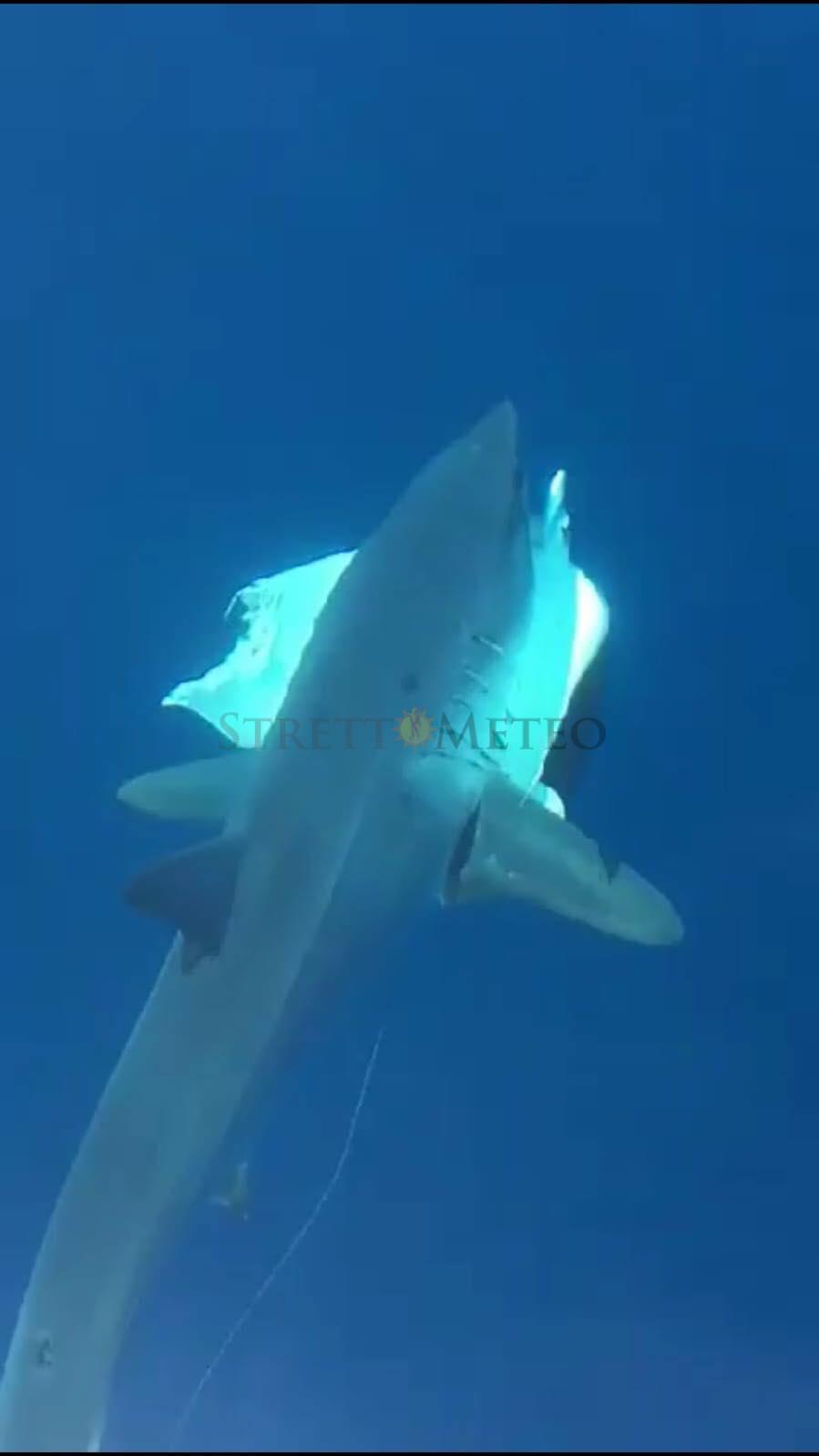 Avvistato grosso Squalo Bianco nelle acque Reggine!